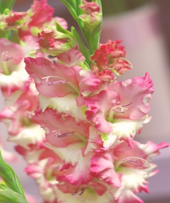 Gladiolus Pink Lady