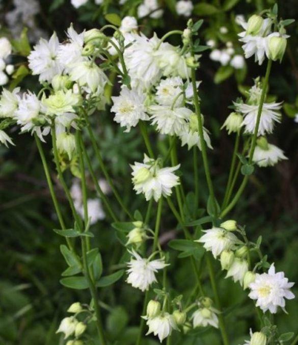 Aquilegia White Barlow - P9 (Akelei)
