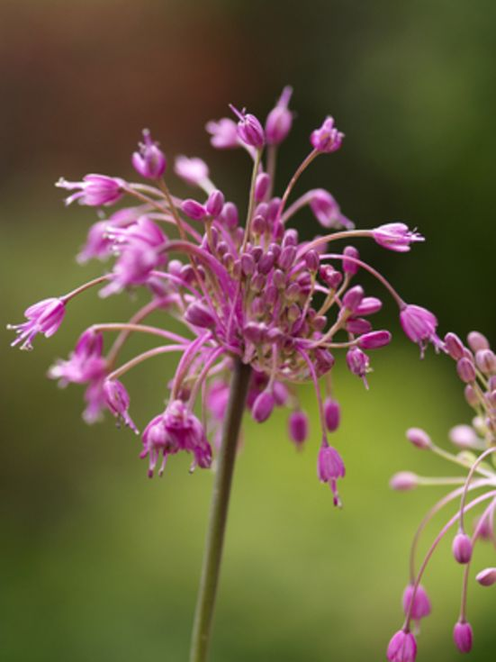 Allium Carinatum Pulchellum